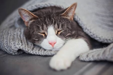 A cute gray tabby house cat with a pink nose is fast asleep, covered with a gray knitted blanket. Comfort and peace.