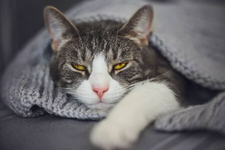 A beautiful striped house cat with yellow eyes lazily lies under a warm knitted blanket in comfort and squints with pleasure.