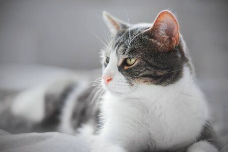 A beautiful striped domestic gray cat with a cute pink nose is lying on a soft bed at home.