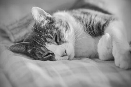 A black and white image of a cute domestic tabby cat sleeping on a soft bed and illuminated by sunlight. Фото со стока