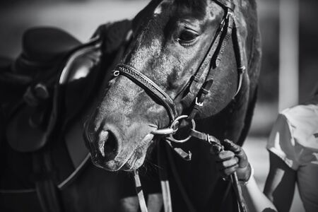Black-and-white image of a beautiful sports horse with a bridle on its muzzle, which is held by the rein by the rider. Soft focus.