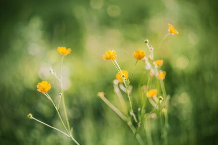 In the meadow, yellow Buttercup flowers grow on thin stalks, illuminated by warm sunlight. Фото со стока