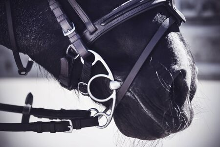 The muzzle of a black horse, which is wearing a leather bridle and a metal snaffle close-up, illuminated by sunlight.