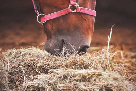 A close-up portrait of a Bay horse with a pink halter on its muzzle, eating hay brought to its stall. The care of the cattle.