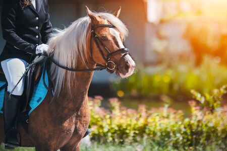 A beautiful pony, dressed in sports gear, with a rider in the saddle, stands next to a flowery meadow, illuminated by sunlight. Фото со стока