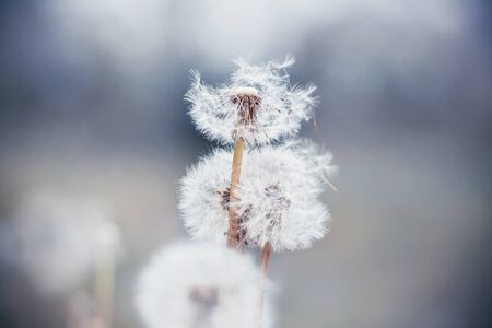 White delicate fluffy dandelions with which the wind blows away