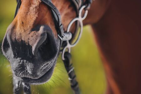 The nose of a sorrel horse in close-up, which is wearing a black leather bridle and a metal snaffle.