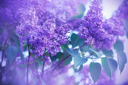 Beautiful fragrant purple lilac bloomed on long branches in springtime, illuminated by light. Фото со стока