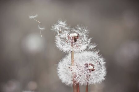 Fluffy white dandelions bloom, and their weightless fluff is blown away by the wind. Фото со стока