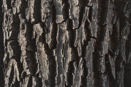 Gray with age, the old rough bark of a large century-old oak, illuminated by light. Фото со стока