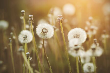 Fluffy white round dandelion flowers on thin stalks grow in a meadow lit by sunlight in the evening in summer.