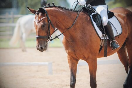 A beautiful, elegant bay horse with a braided mane and a rider in the saddle is walking through the sandy arena for a dressage competition, illuminated by sunlight.