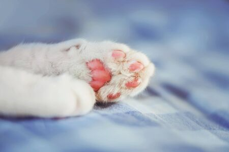 White fluffy cute paws of a cat sleeping on a blue checked sheet. Фото со стока