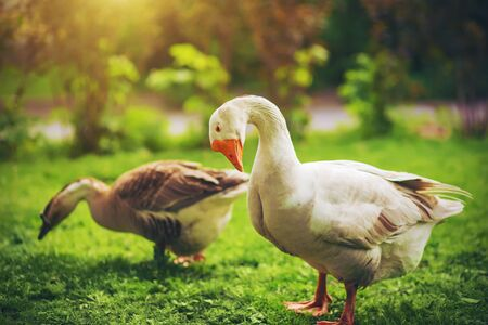 Two geese - a gray and a white are walking on a bright green lawn on a Sunny day. Poultry.
