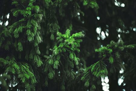 Thick lush prickly fragrant green branches of spruce in a dense dark coniferous forest. Taiga. Фото со стока