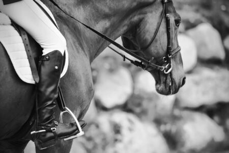 A black-and-white image of a horse in sports ammunition with a rider in black boots with spurs sitting in the saddle. Фото со стока