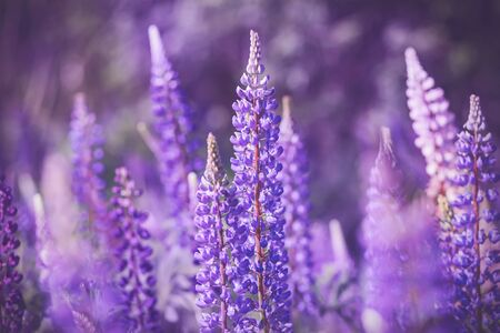 A field of bright, fragrant purple lupine flowers that grow in the warm summer and are illuminated by sunlight.