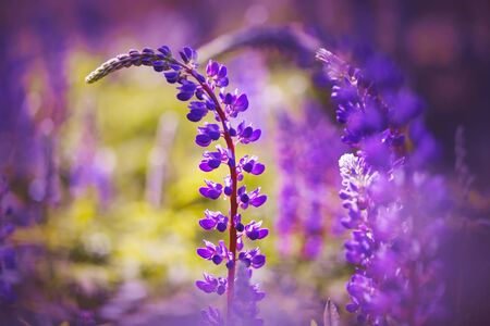 Curved bright purple flowers of the lupine are blooming in the warm summer Sunny day.