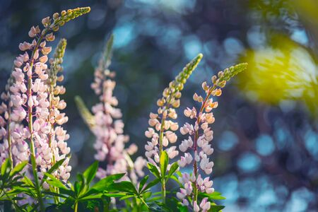Delicate pink fragrant lupines grow in the summer, illuminated by rays of sunlight. Фото со стока