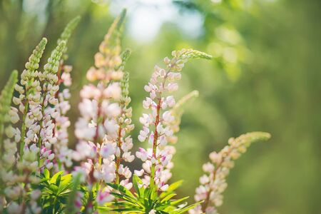 Delicate light fragrant lupine flowers bloom in the middle of a green garden, illuminated by sunlight.