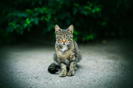 A beautiful striped wild mysterious cat with bright green eyes sits against the background of dense dark green thickets with leaves. Фото со стока