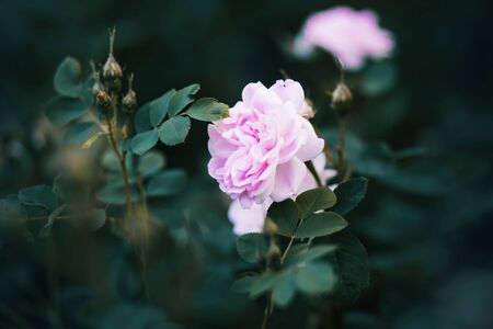 Pale large fragrant garden pink rose blooms on a bush with buds and leaves at dusk.