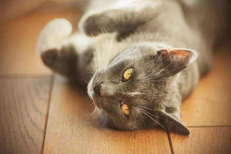 A cute gray domestic furry cat with yellow eyes is lying on the wooden floor of the house, illuminated by sunlight.