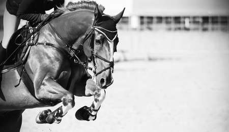 A black-and-white image of a beautiful strong racehorse with a rider in the saddle, who jumps over a high barrier at a show jumping competition .. Banque d'images