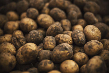 In the grocery store, there are many tubers of ripe potatoes, soiled in fresh earth. Rich harvest.
