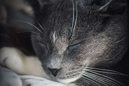 A close-up portrait of a cute, lazy, gray house cat, who is fast asleep.