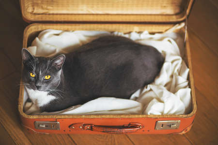 Cute gray domestic Shorthair cat sits comfortably in an old orange battered from time suitcase. The trip is coming soon.