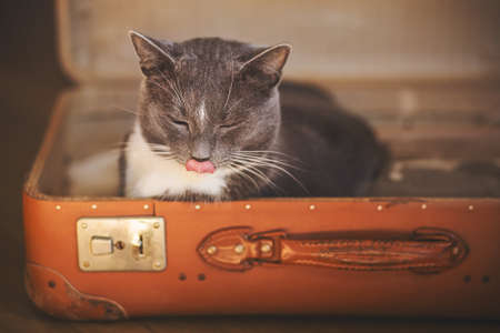 Cute home gray cat comfortably lay down in an old battered orange suitcase and licks his lips, closing his eyes with pleasure.