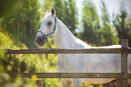 White speckled beautiful horse standing on a summer sunny warm day in a meadow in a paddock with a wooden fence, which is located in the countryside.