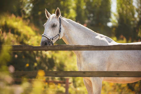 In a paddock with a wooden fence against a background of green leaves stands a beautiful white speckled horse with a halter on its muzzle, which is illuminated by warm sunlight in summer. 免版税图像