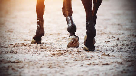 The graceful legs of a dark horse with shod hooves, which it strides across a sandy arena. Sports and horses.