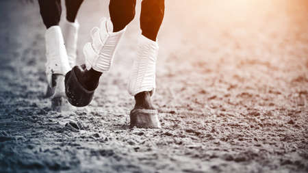 The legs are a dark horse running trot, hoofs and raising dust in the air, illuminated by the sunlight. Equestrian sport.