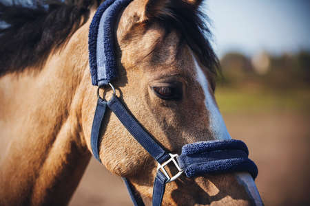 Portrait of a domestic horse of a dun color with a blue soft halter on its muzzle, which grazes in a field, illuminated by sunlight. Farm.