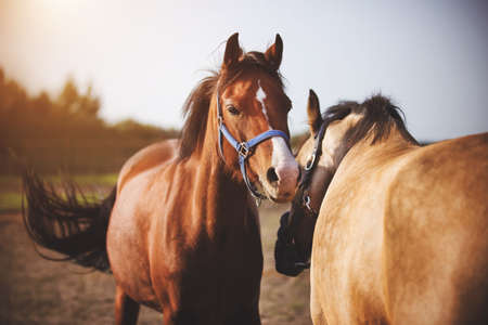Two domestic horses with bridles on their muzzles walk in the middle of the field and play with each other in the sunlight. A herd of horses. Agricultural industry.