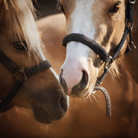 Portrait of two beautiful light horses with bridles on their muzzles, which tenderly stand next to each other, illuminated by sunlight. Love. Livestock.