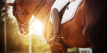 A bay racehorse with a rider in the saddle, who has black boots with spurs, is illuminated by bright rays of sunlight. Horseback riding. Equestrian sport. 免版税图像