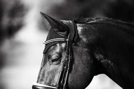 Black and white portrait of a beautiful black horse with a bridle on its muzzle, which is illuminated by bright sunlight. Equestrian sport.