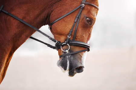 Close up portrait of a sorrel galloping horse with a black leather bridle on its muzzle on a bright day. Equestrian sport.