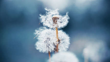 Beautiful flowers of fluffy wild dandelion grow in the field, and the wind blows away its seeds. Summer. Banque d'images