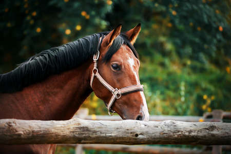 A beautiful bay horse with a dark mane and a halter on its muzzle stands in a paddock with a wooden fence on a summer day against a background of trees with dark green foliage. 免版税图像
