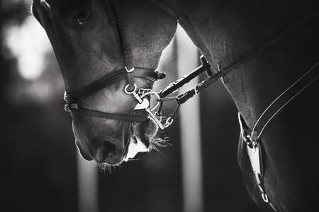 Black and white portrait of a fast beautiful sports horse with a bridle and a snaffle on the muzzle, which is illuminated by sunlight. Horseback riding. Equestrian sport. Stok Fotoğraf