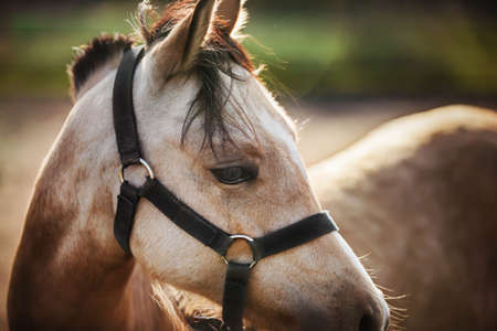 A beautiful light horse with long bangs and a black halter on its muzzle stands in a field, illuminated by sunlight. Livestock.