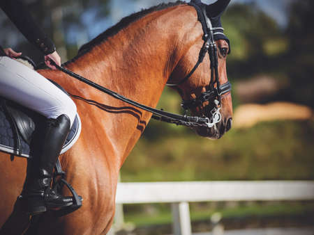 A beautiful athletic bay horse with a rider in the saddle who holds it by the reins, performs at equestrian competitions, illuminated by sunlight. Equestrian sport. Horseback riding.