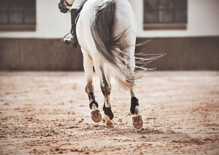 A white horse with a long gray tail is galloping through the outdoor arena, hooves treading on the sand. Equestrian sports. Exercise.