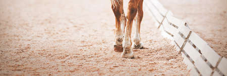The legs of a sorrel horse stepping hooves on the sand in an outdoor arena at a dressage competition. Equestrian sports. Horse riding. Trot. Standard-Bild