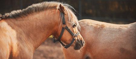 Two beautiful light palomino horses with long bangs walk around the farm. Livestock.